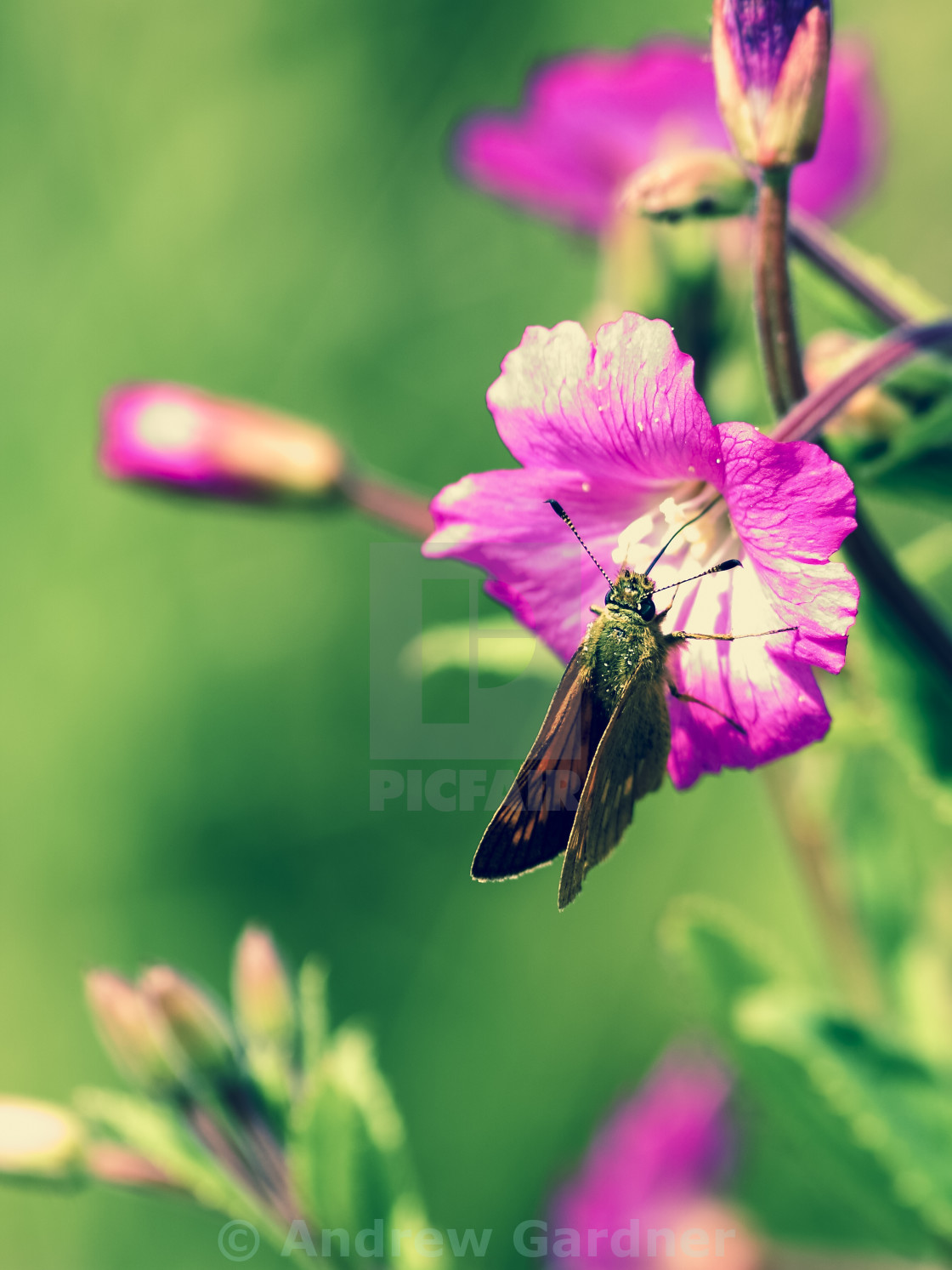 """Small skipper butterfly"" stock image"