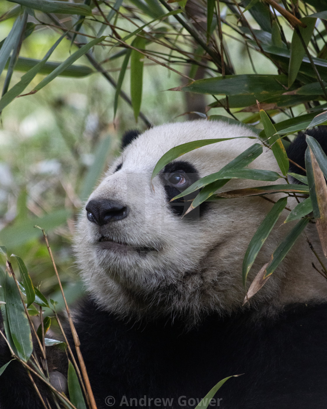 """Panda Hiding in the bamboo"" stock image"