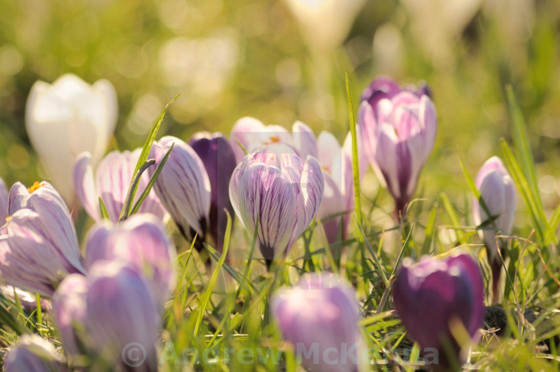"""""""Crocuses Flowering"""" stock image"""