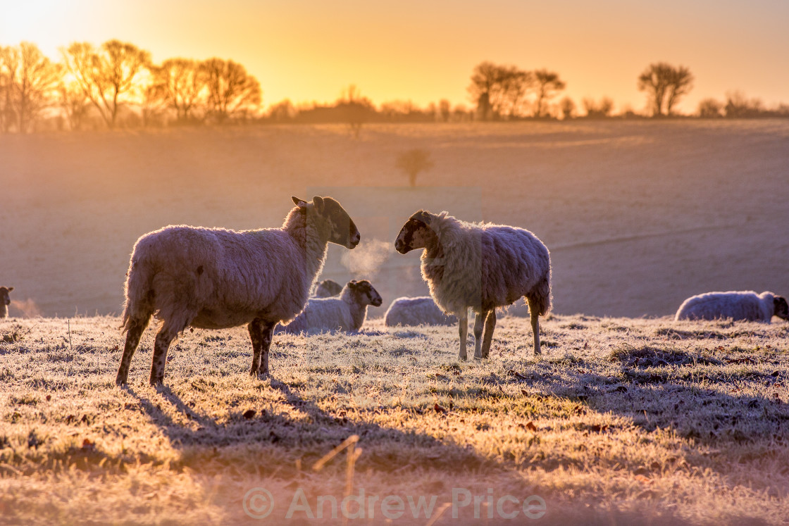 """Frosty Sheep"" stock image"