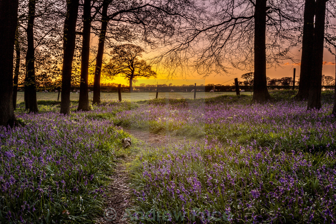 """Sunset Bluebells"" stock image"