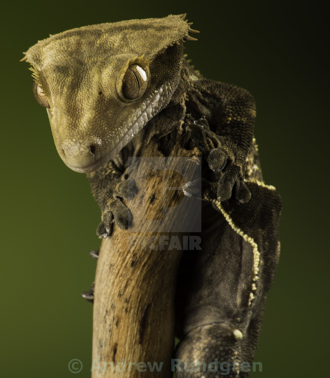 """Crested Gecko"" stock image"