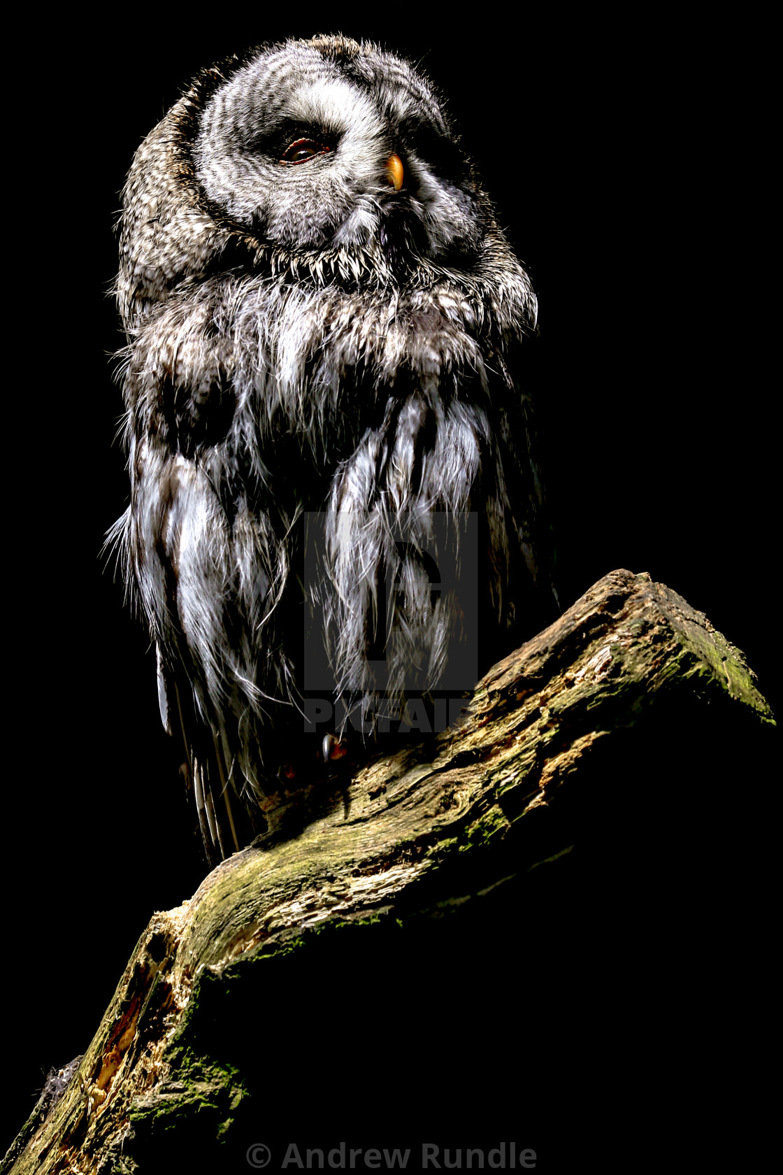 """New Forest Owl"" stock image"