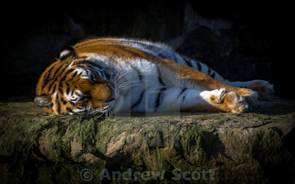 """""""Tiger resting on a rock"""" stock image"""