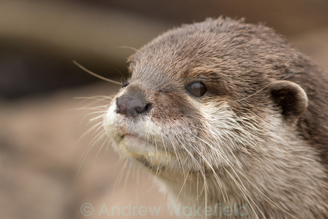 """""""Asian Short Clawed Otter"""" stock image"""