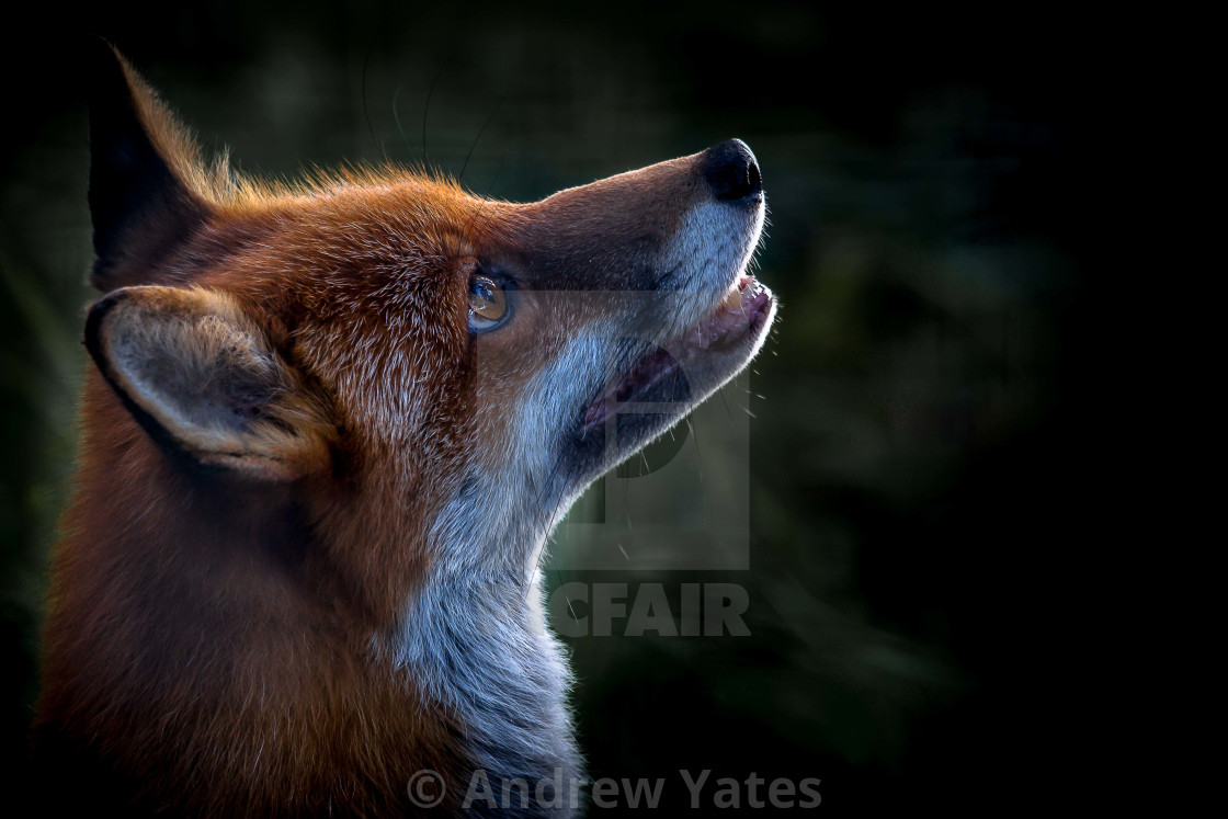 """Red Fox Portrait"" stock image"