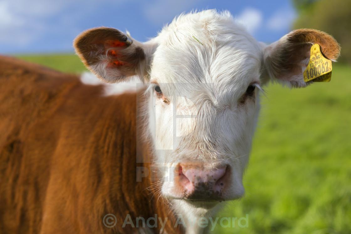 """""""Curious Calf"""" stock image"""