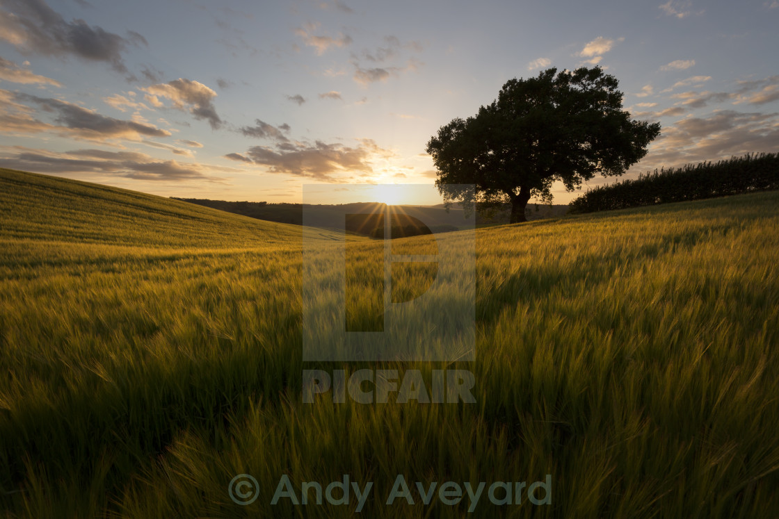 """Field of Barley"" stock image"