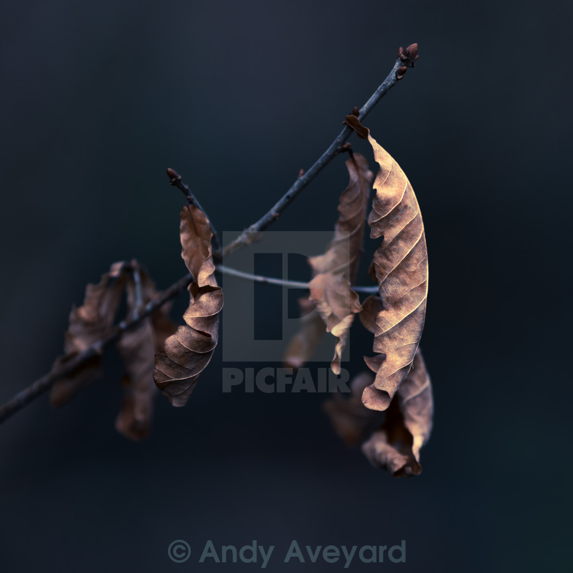 """Oak Tree Leaves"" stock image"