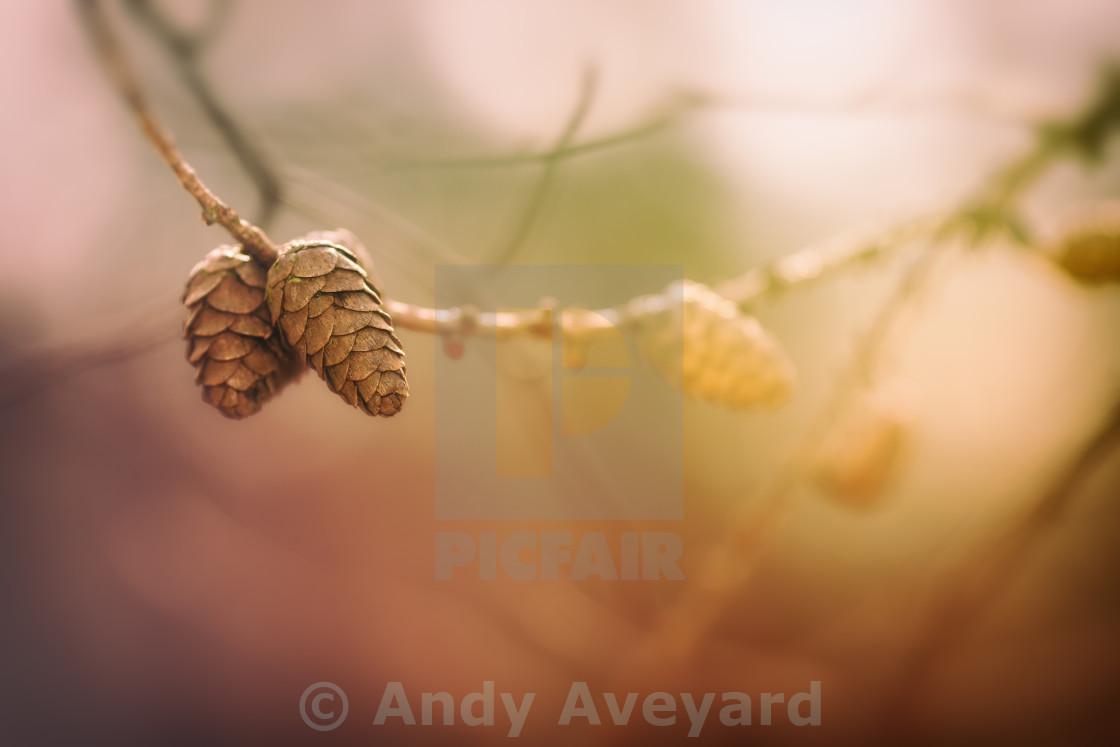 """Pine Cones in sunlight"" stock image"