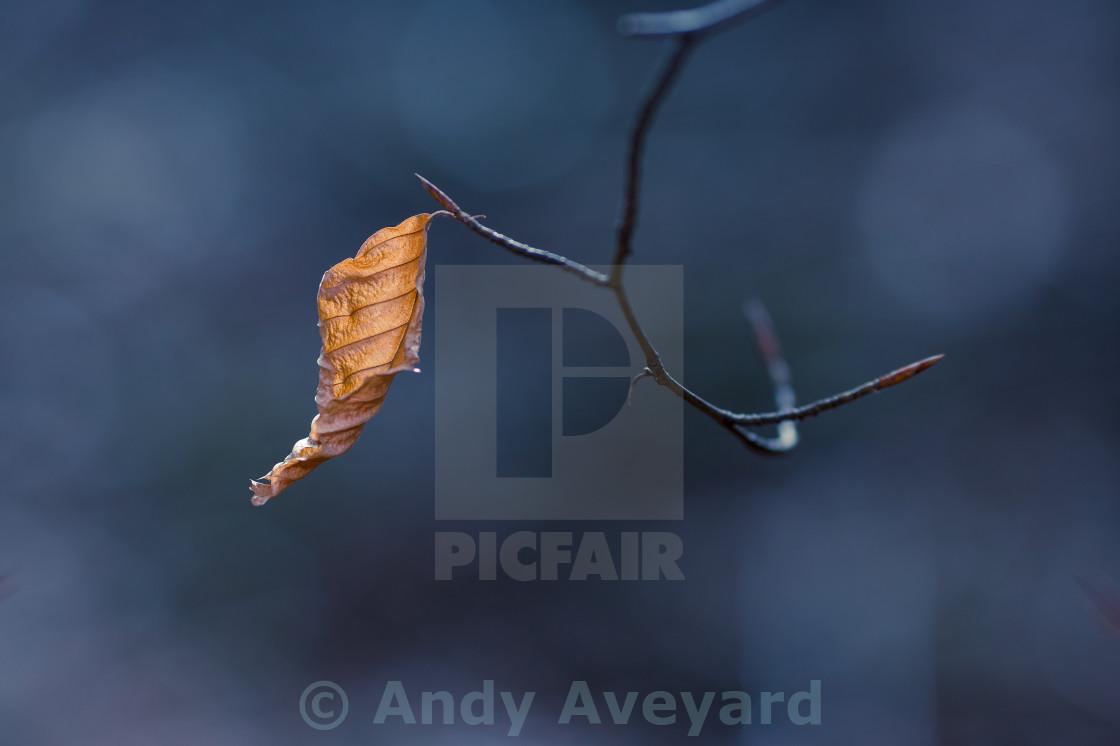 """Gold Leaf against a blue background"" stock image"