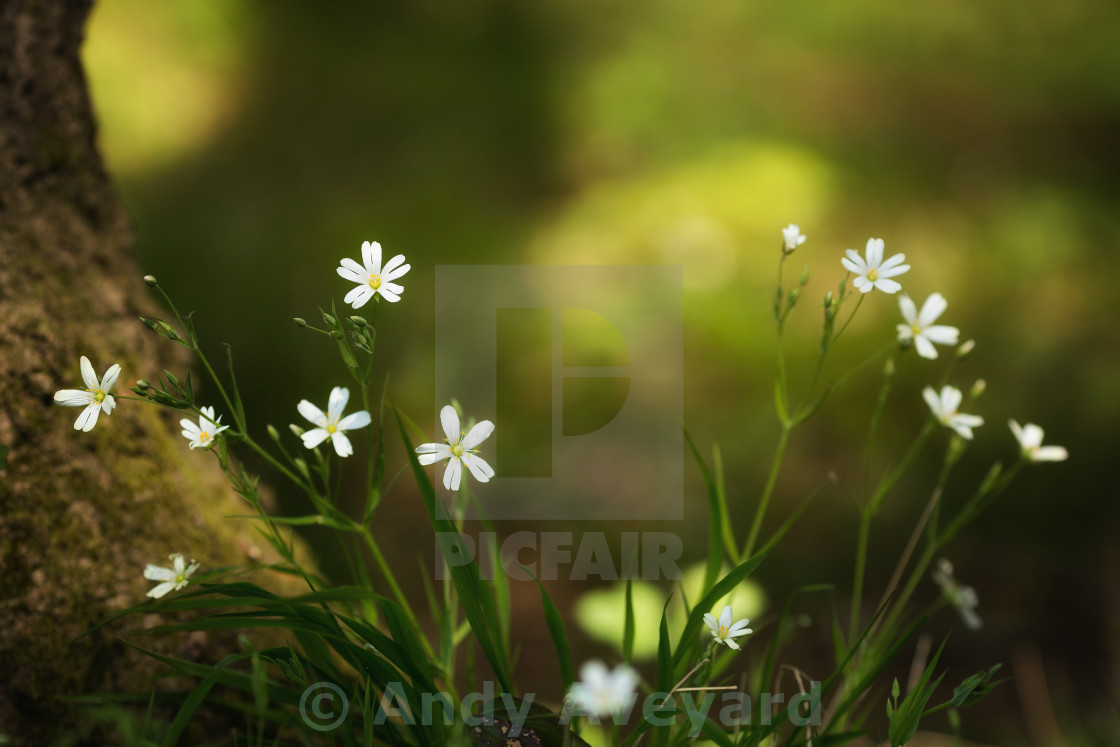 """Greater Stitchwort"" stock image"