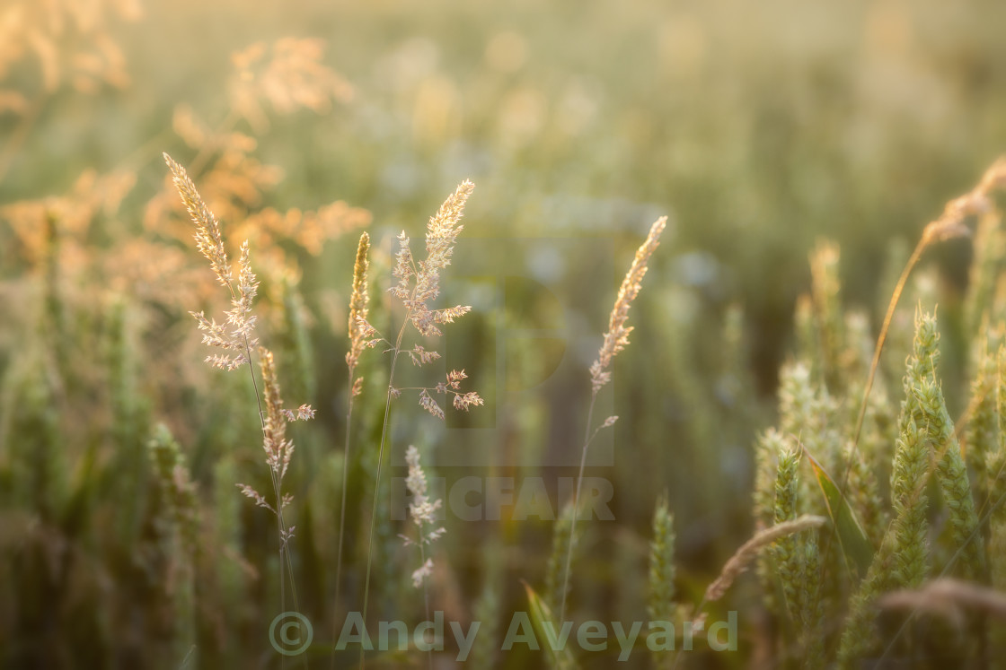 """Grass and Wheat in sunlight"" stock image"