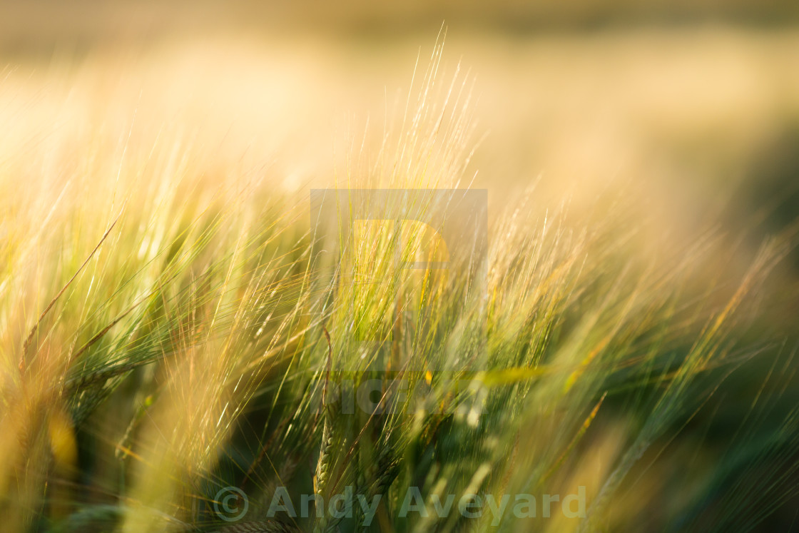"""Barley in evening sunlight"" stock image"