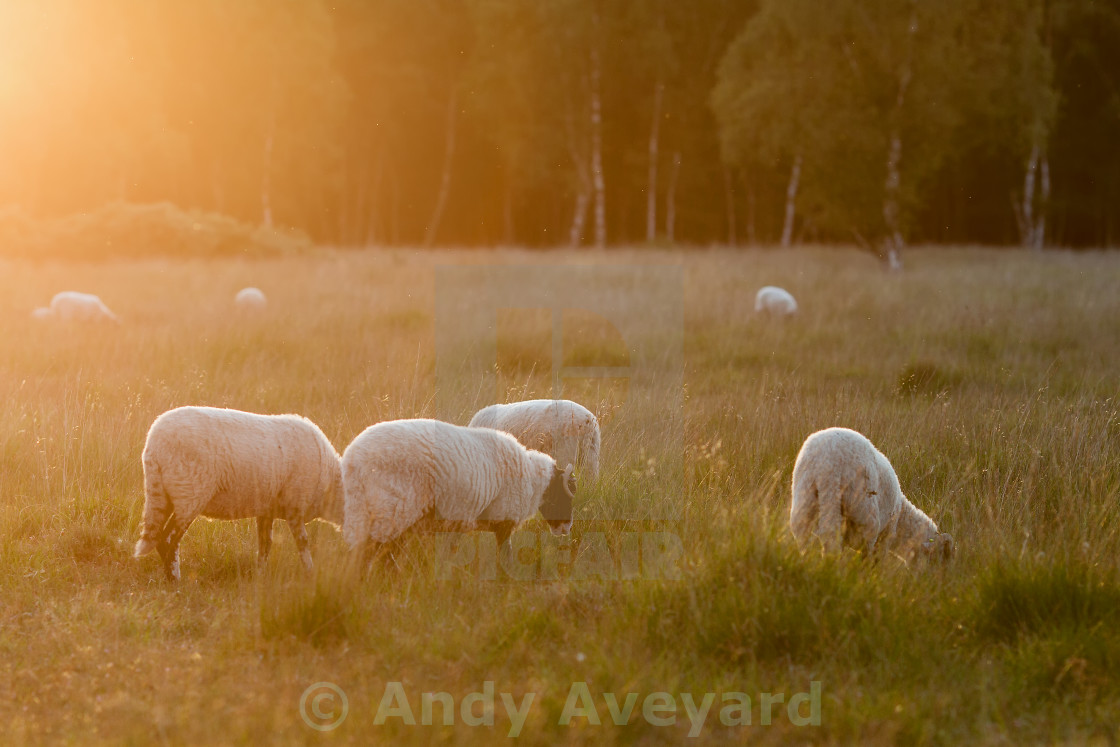 """Sheep and evening Sunshine"" stock image"