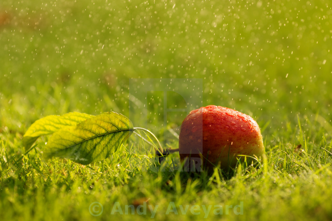 """""""Apple on grass with water droplets"""" stock image"""