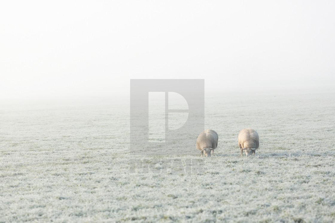 """""""Two of Ewe"""" stock image"""