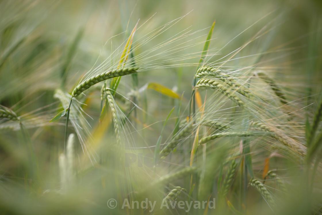 """""""Green Barley"""" stock image"""