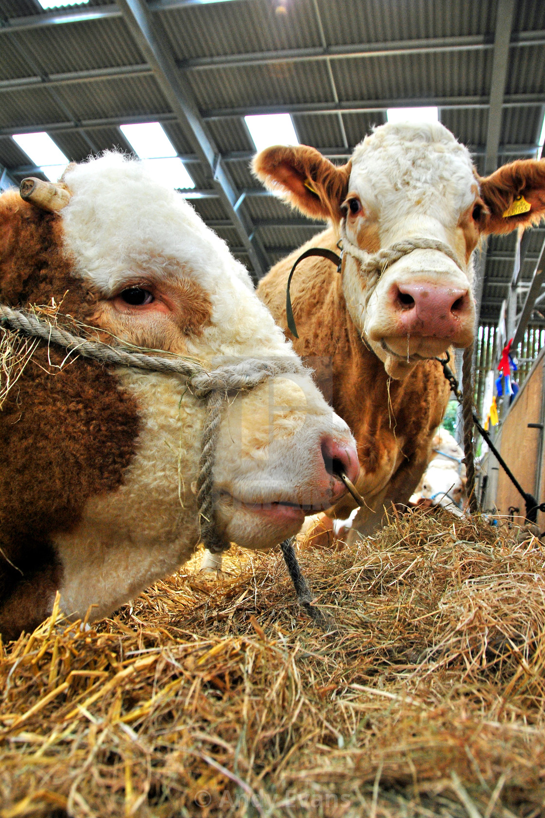 """""""Pedigree Simmental cows cattle at Newbury Show"""" stock image"""
