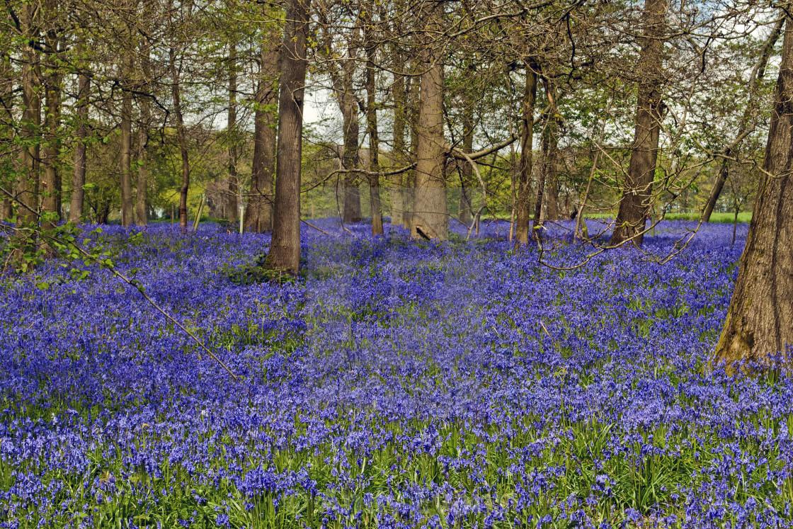 """""""Bluebell Woods Greys Court Oxfordshire England UK"""" stock image"""