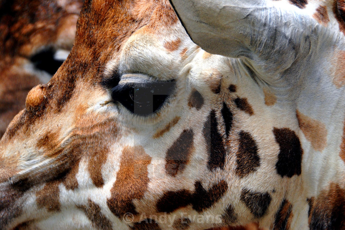 """African Giraffe Amelopardalis Giraffa"" stock image"