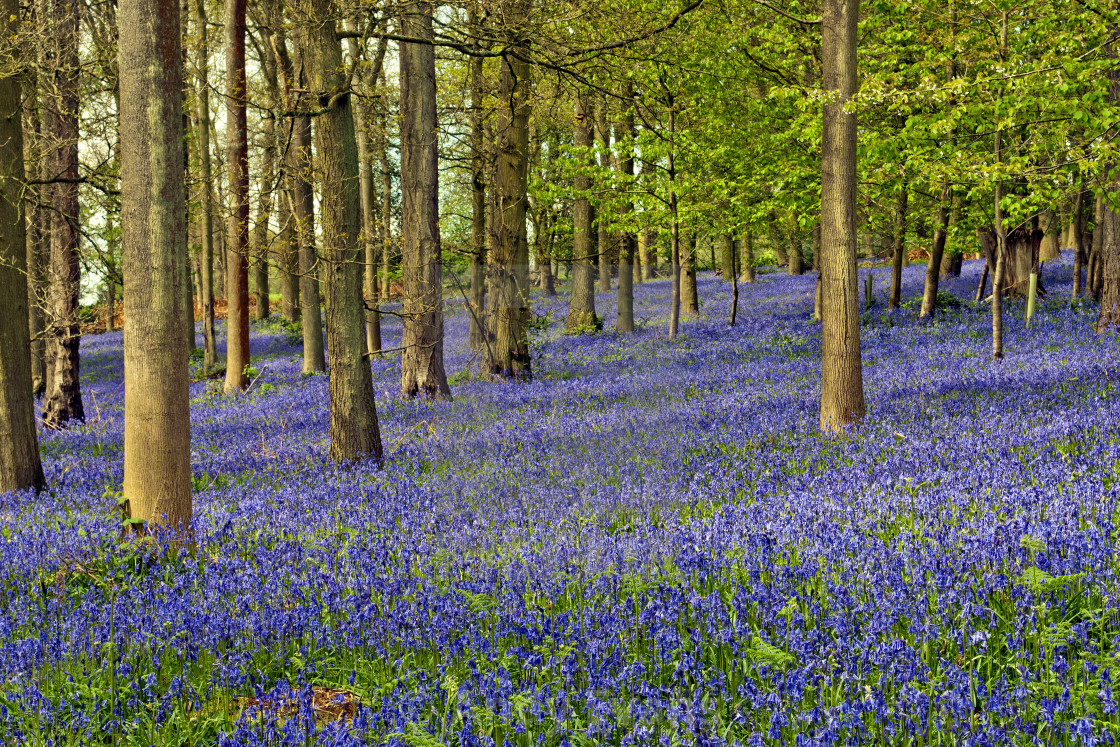 """Bluebell Woods Greys Court Oxfordshire England UK"" stock image"