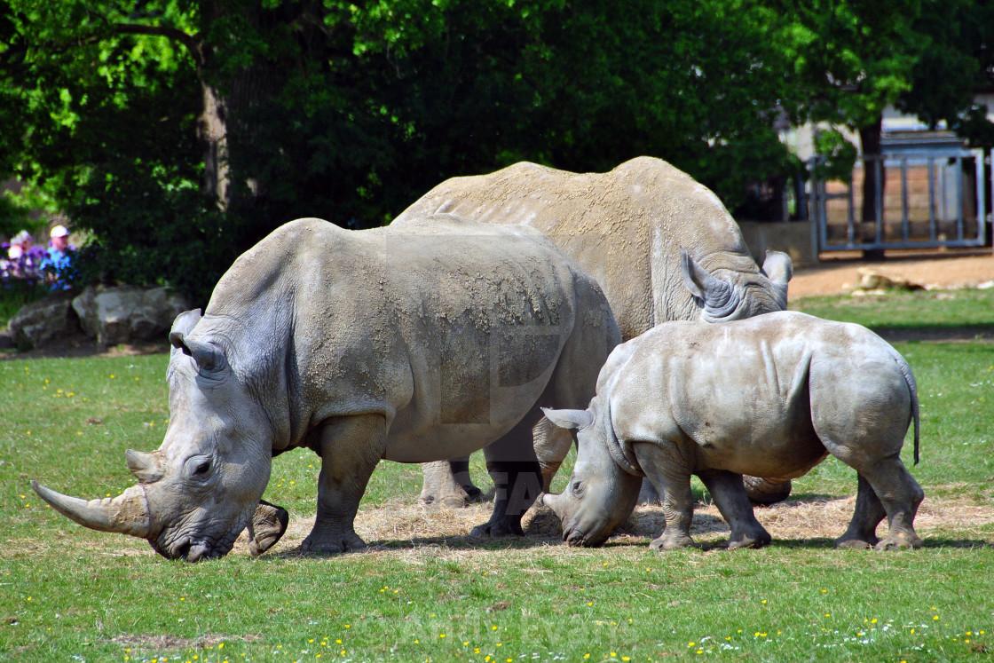 """""""Southern White Rhino Rhinoceros Ceratotherium Simum"""" stock image"""