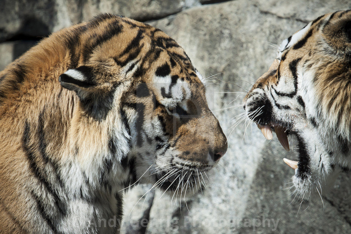 """Tigers"" stock image"