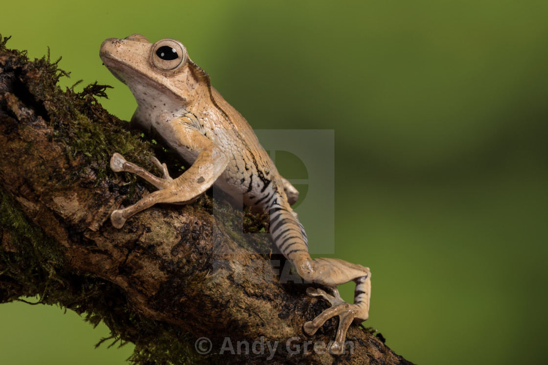 """Frog on branch"" stock image"