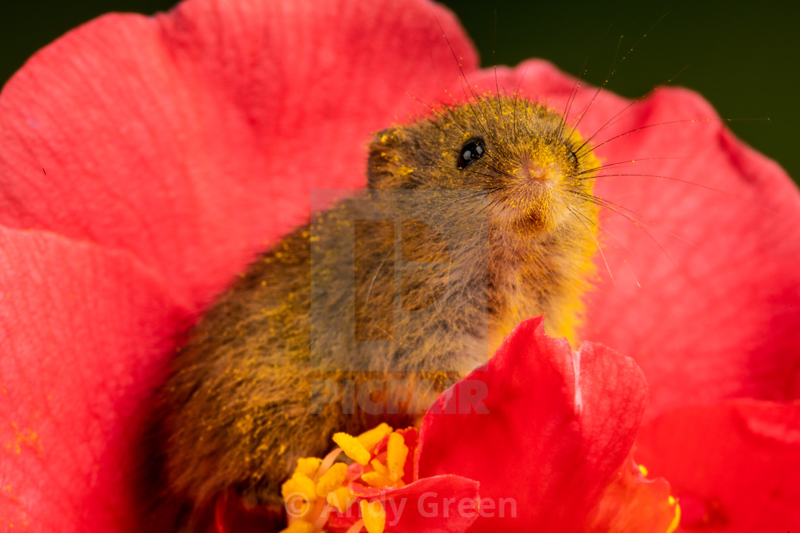 """Harvest Mouse"" stock image"