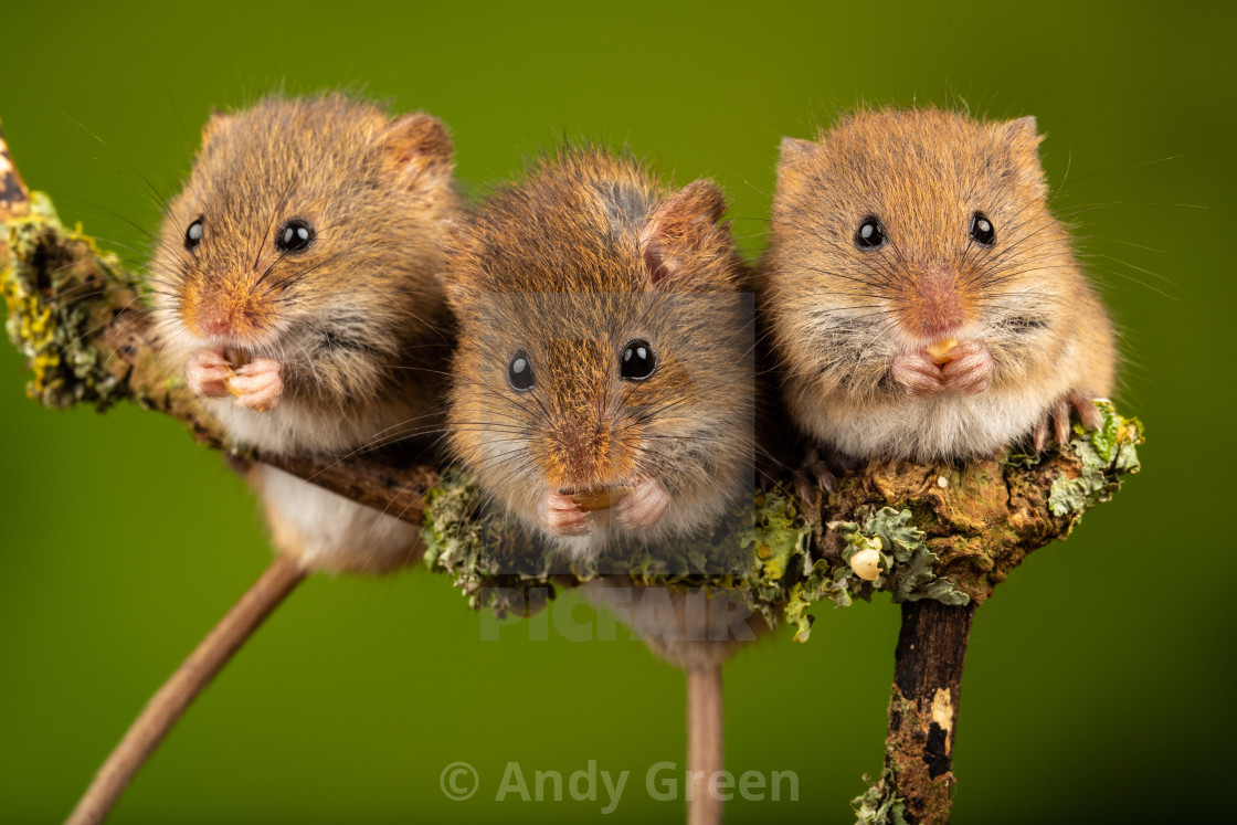 """Harvest Mice"" stock image"