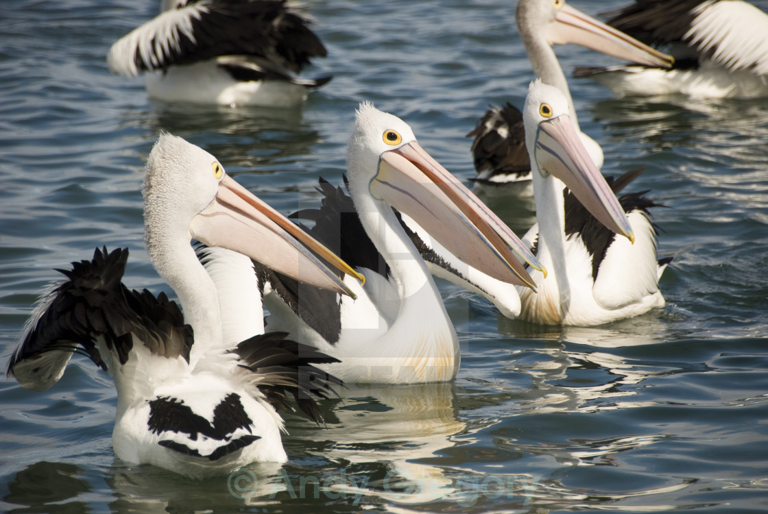 """""""Pelicans waiting for a feed"""" stock image"""