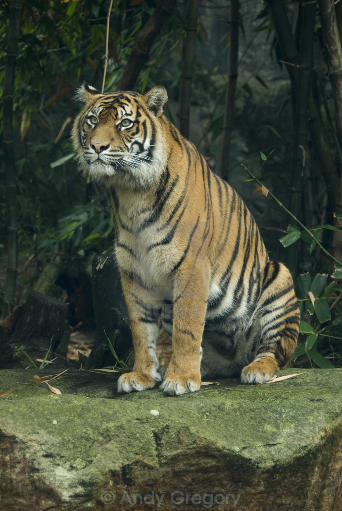 """Tiger"" stock image"