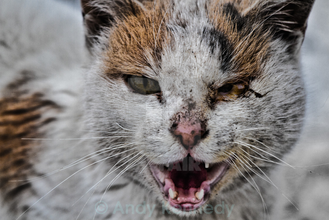 """Bulgarian feral cat"" stock image"