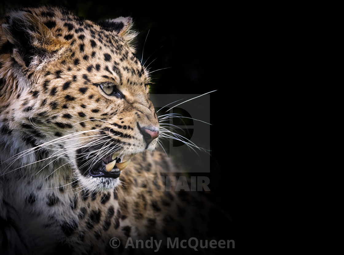 """Snarling leopard"" stock image"