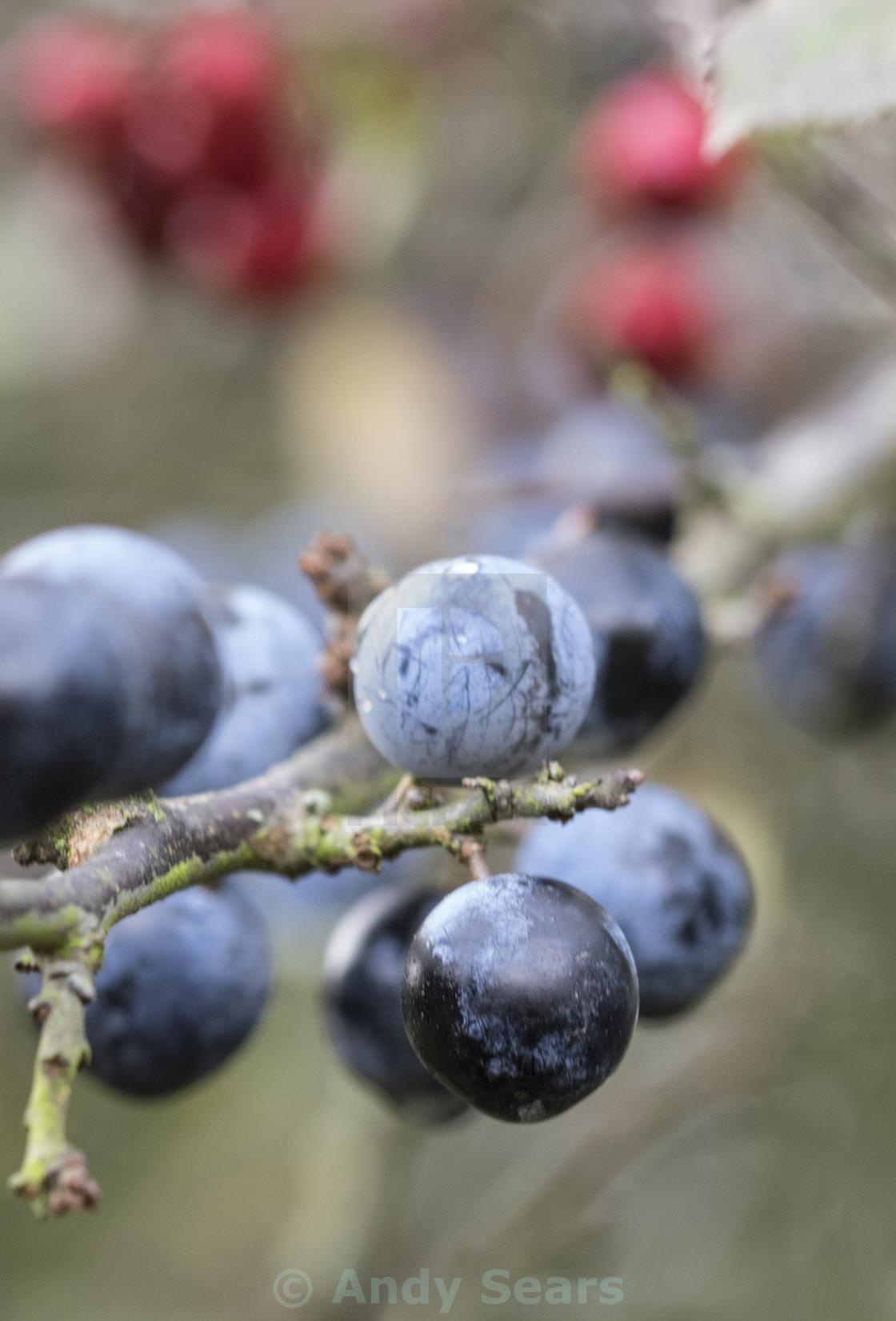 """""""Autumn Sloe Berries"""" stock image"""