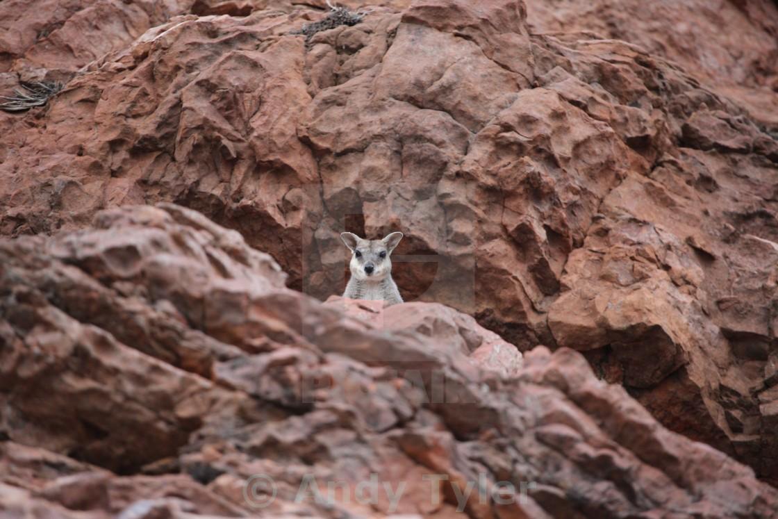 """Rock Wallaby"" stock image"