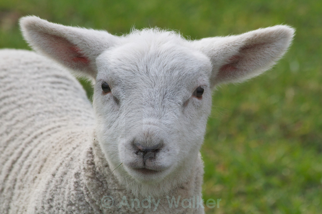 """Ewe There"" stock image"