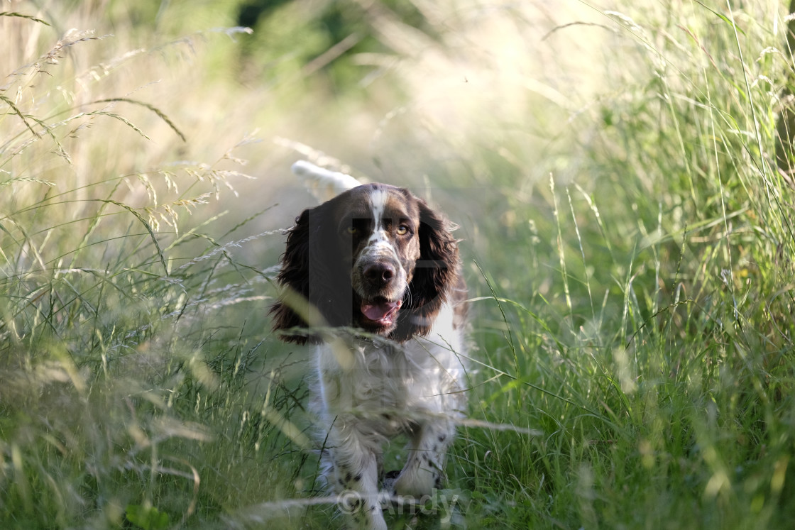 """Dog running through grass"" stock image"