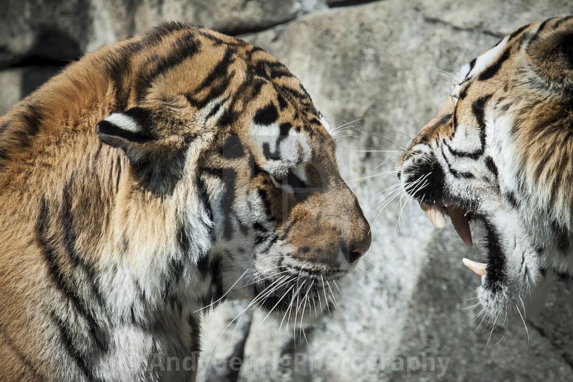 """Tigers"" stock image"