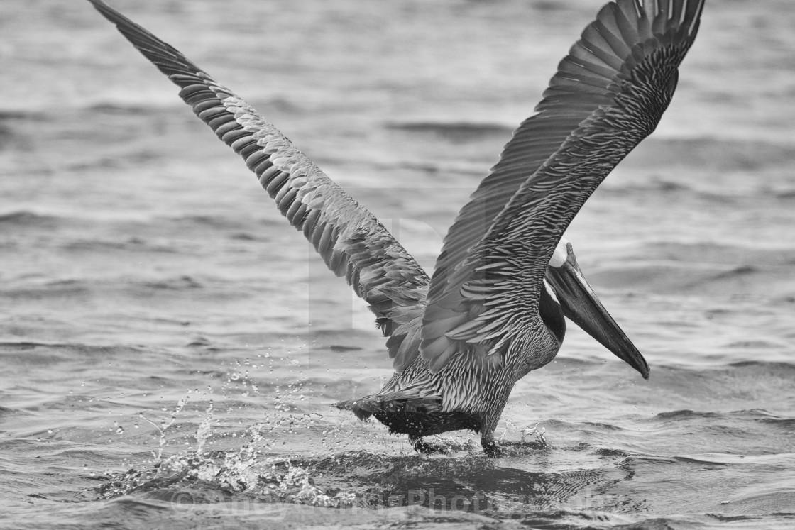 """Starting Pelican"" stock image"