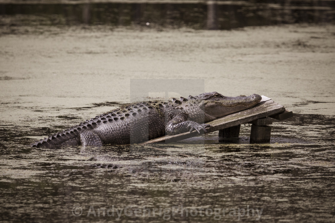 """Resting Alligator"" stock image"