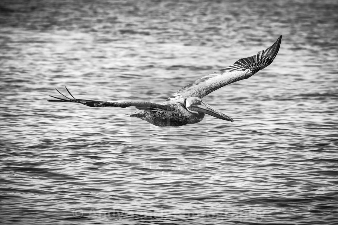 """Flying Pelican"" stock image"