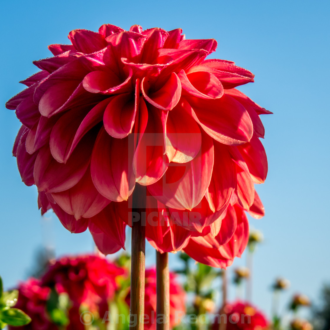 Ice Tea Dahlia License Download Or Print For 1240 Photos