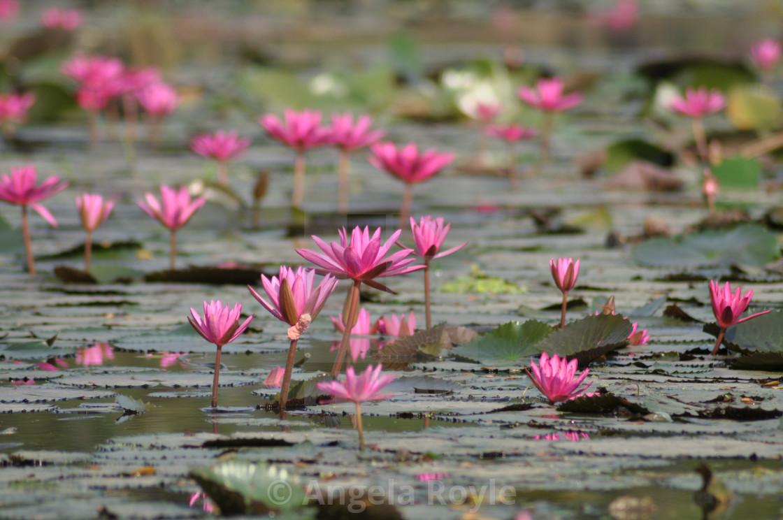 """Pink lotus fowers"" stock image"