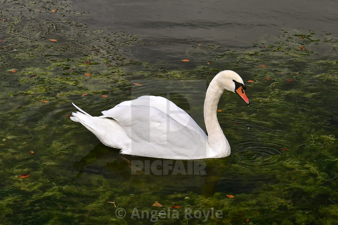 """Side profile of a swan"" stock image"