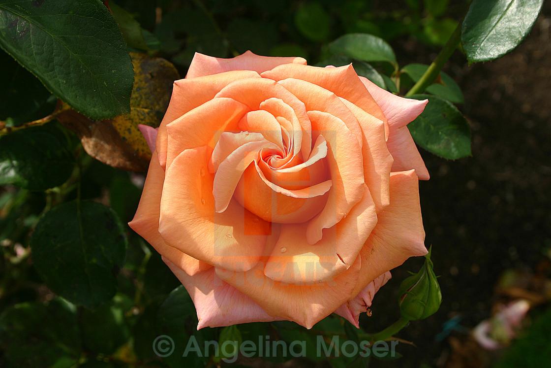 """Warm Wishes Rose"" stock image"