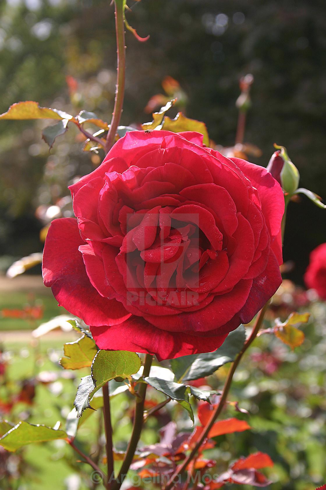 """""""Velvet Fragrance Rose"""" stock image"""