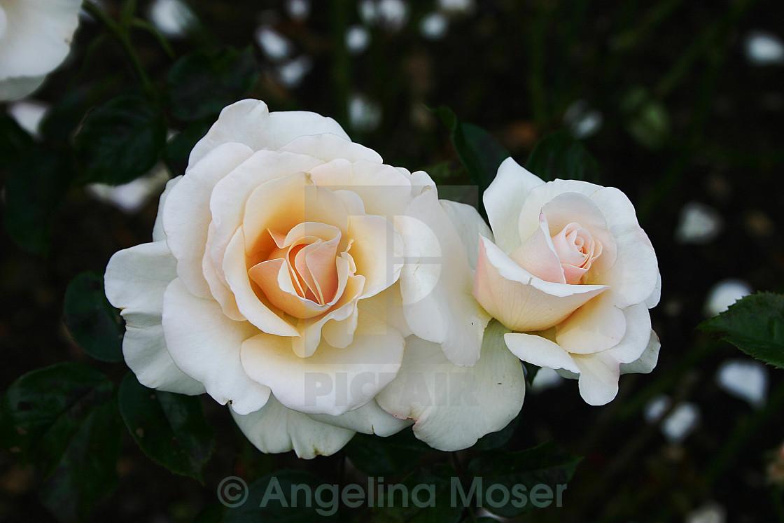 """The Soham Rose"" stock image"