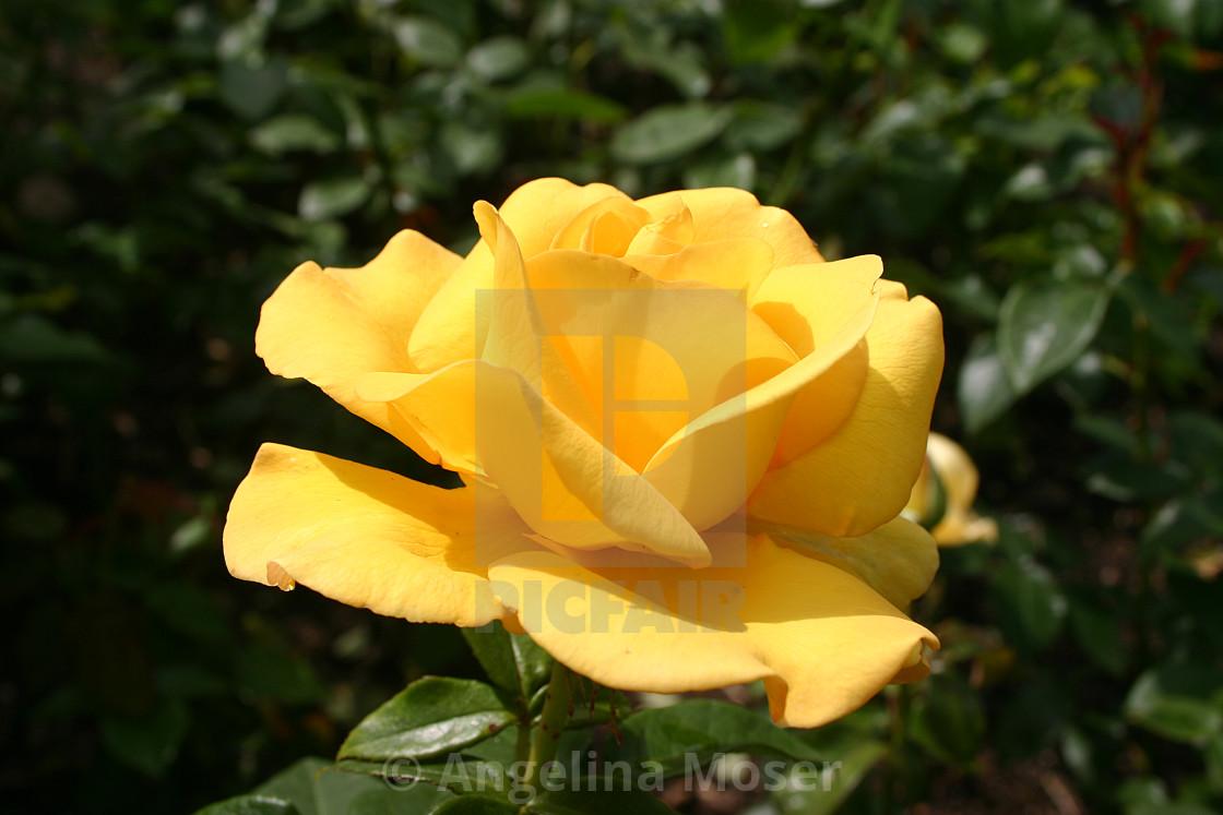 """""""Keep Smiling Rose"""" stock image"""
